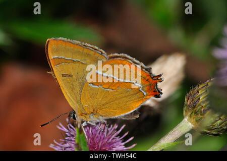 Brown Hairstreak,'Thecla betulae'.butterfly, on thistle, August to September, Dorset, UK - Stock Image