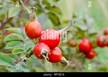 Downy Rose (rosa tomentosa), close up of a group of ripe rose hips. - Stock Image