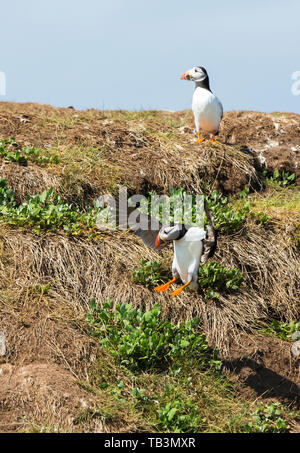 Atlantic Puffin on the Farne Islands, Northumberland, UK. - Stock Image