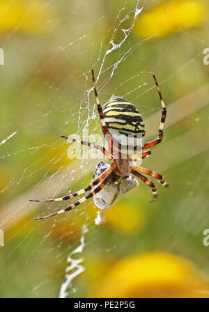 Wasp Spider (Argiope bruennichi) adult female on web with wrapped up prey  Eccles-on-Sea, Norfolk, UK                      August - Stock Image