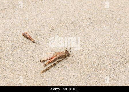 Remains of a dead grasshopper lying on a beach on Kangaroo Island in South Australia, Australia - Stock Image