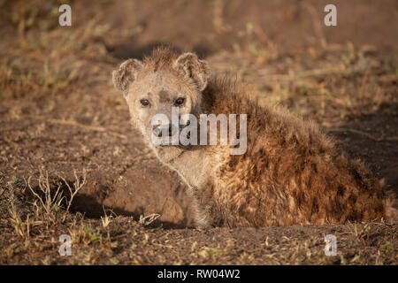 Spotted hyena Crocuta crocuta resting in an earth scrape in the open plains of Ndutu, Tanzania, East Africa - Stock Image