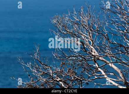 Dead tree on the Cape Naturaliste coastline, Western Australia - Stock Image