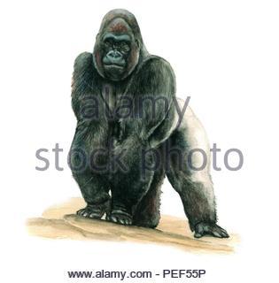 gorilla - gorilla - Stock Image