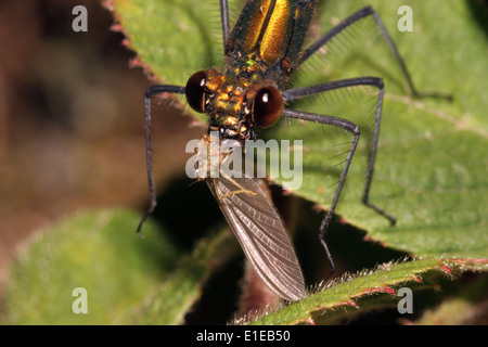 Beautiful demoiselle damselfly (Calopteryx virgo) female eating a mayfly, UK. - Stock Image