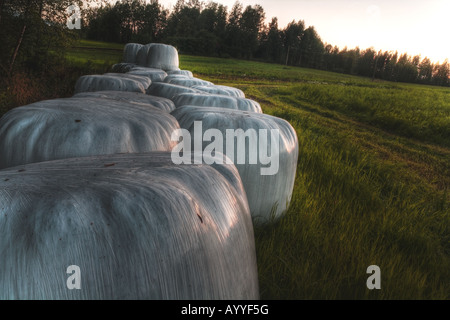 Plastic wrapped hay bales - Stock Image
