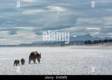 Grizzly Bear Mother leading two Spring Cubs, Ursus arctos, walking across the tidal flats of the Cook Inlet, Alaska, - Stock Image