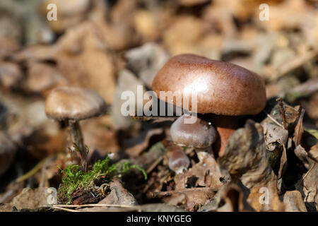 A few wild mushrooms grows in the forest during autumn season - Stock Image