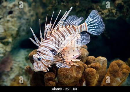 Lionfish (Pterois volitans), venomous coral reef fish, family Scorpaenidae. Aquarium - Stock Image