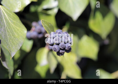 Ivy berries and plenty of leaves of ivy plants in closeup. This photo was taken during a sunny spring day in Nyon, Switzerland. Colorful closeup photo - Stock Image