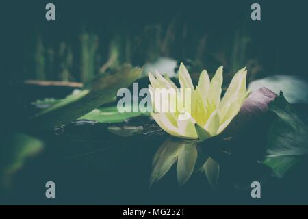 Close-up Yellow Lotus Flower with Reflection on Water Surface in Vintage Style. (Selective Focus) - Stock Image
