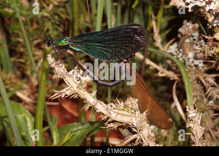 Beautiful demoiselle damselfly (Calopteryx virgo), mating pair with male covering female's head, UK - Stock Image