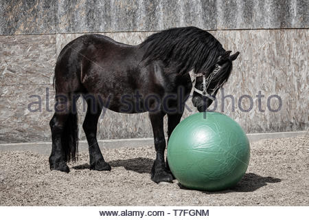 The horse plays with the ball - Stock Image