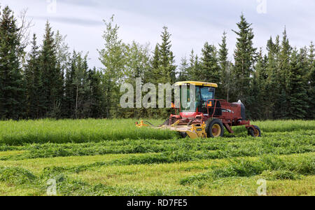 Farmer operating New Holland HW345 Mower Conditioner, harvesting pea & oat forage crop. - Stock Image