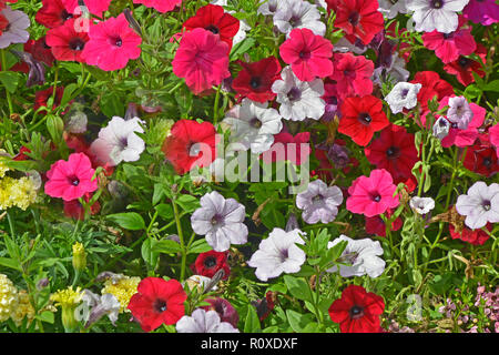 Close up of a flower border with colouful flowering Petunias in assorted colours - Stock Image