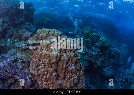 Scuba divers explore coral garden hidden inside towering pinnacles in the Fury Shoals area of the Red Sea. - Stock Image