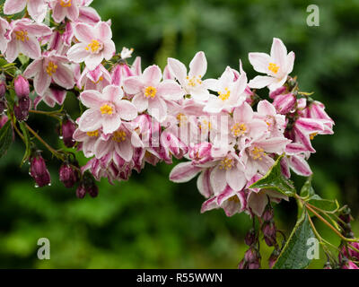 Pink and white early summer flowers of teh hardy deciduous shrub, Deutzia 'Iris Alford' - Stock Image
