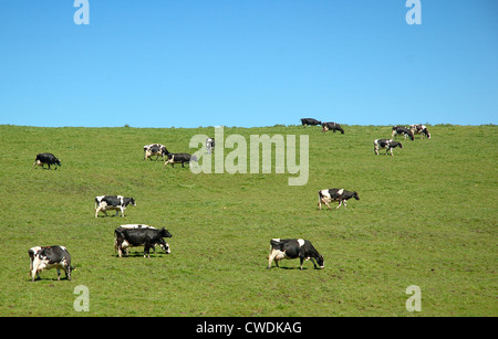 Cows Grazing On Hillside - Stock Image