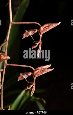 A native Gongora sp. orchid from the Atlatic Rainforest of coastal SE Brazil - Stock Image