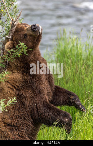 Brown Bear scratching its back against a tree, Brooks river, Katmai National Park, Alaska - Stock Image