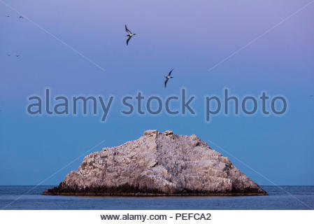 Blue footed boobies flying near San Pedro Martir. - Stock Image