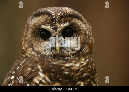 Spotted Owl (Strix occidentalis). Willamette National Forest, Oregon. June. - Stock Image