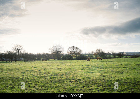 Two cows at a farm in West Bretton, United Kingdom. - Stock Image