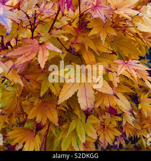 Japanese Maple in autumn. - Stock Image