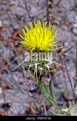 Centaurea melitensis (Maltese star-thistle) is native to the Mediterranean region of Europe and Africa. It occurs in grasslands and open woodlands. - Stock Image
