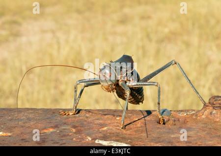 Armoured ground cricket (Acanthoplus discoidalis: Tettigoniidae) armoured bush cricket, corn cricket, Namibia - Stock Image