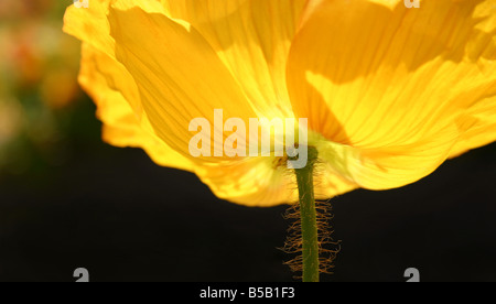 USA. Stock image of an yellow Iceland poppy glowing in the sunlight. - Stock Image