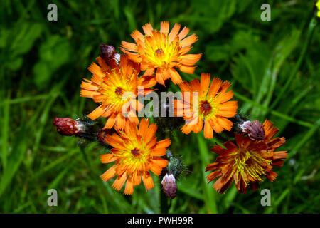Hieracium aurantiacum (orange hawkweed) is found on roadsides and hedgebanks. It is native to Europe but has become invasive in other areas. - Stock Image