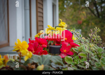Potted flowers on the balcony, begonias and plectranthus glabratus - Stock Image