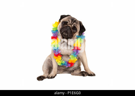 cute sweet pug puppy dog sitting down wearing hawaiian flower garland, isolated on white background - Stock Image