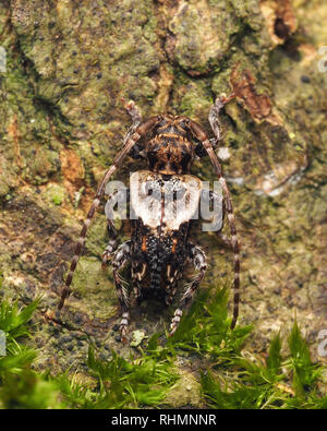 Lesser Thorn-tipped Longhorn Beetle (Pogonocherus hispidus) resting on trunk of sycamore tree in winter. Tipperary, Ireland - Stock Image
