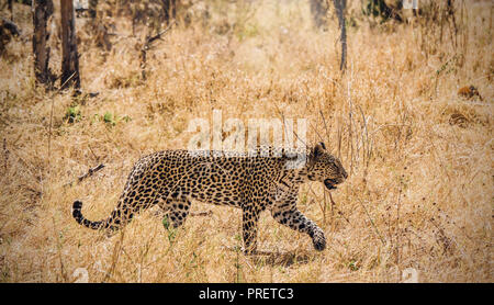 Image showing a female leopard (panthera pardus) in the wild stalking prey, appearing to be moving with focus, intensity and concentration. Botswana - Stock Image
