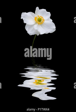 Anenome sylvestris flower reflected in water - Stock Image