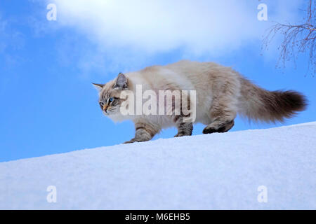 Domestic Siberian Neva Masquerade cat walks on white icy sloop with blue sky in the background. - Stock Image