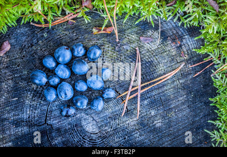 Blueberries on a tree stump in the Swedish forest - Stock Image