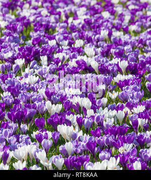 Display of spring crocus, Wisley Gardens. - Stock Image