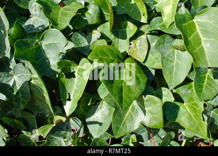 green leaves - Stock Image