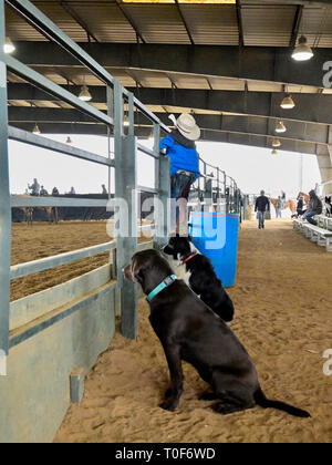 Small or young boy or child and two dogs watching at a rodeo or horse arena in Montgomery Alabama, USA. - Stock Image