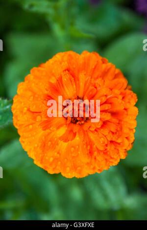 Calendula Orange - Stock Image