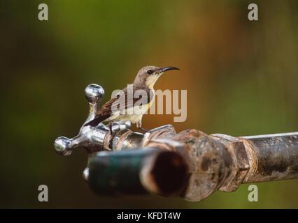 female Purple Sunbird,(Cinnyris asiaticus),drinking from water tap, Keoladeo Ghana National Park, Bharatpur, Rajasthan, - Stock Image