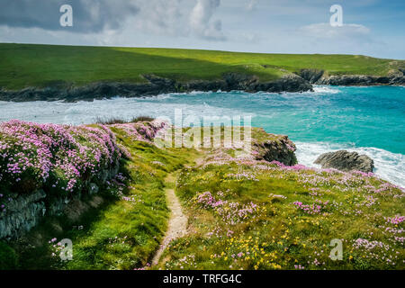 Sea Thrift Armeria maritima growing on a wall along the South West Coast Path on the wild rugged coast at Polly Porth Joke in Newquay in Cornwall. - Stock Image