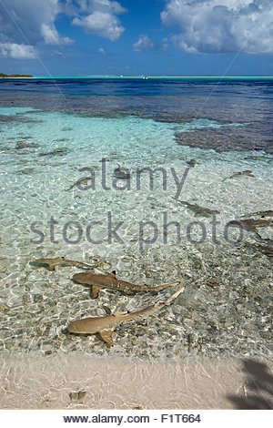 French Polynesia : blacktip reef sharks (Carcharhinus melanopterus) in the lagoon near Fakarava South Pass - Stock Image