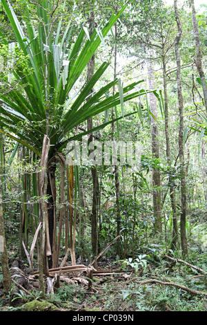 Common or Madagascar Screw Pine, Pandanus utilis, Pandanaceae. Growing in Montane Forest, Mantadia National Park, - Stock Image
