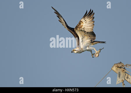 Osprey (Pandion haliaetus) adult in flight with fish prey, at a fish farm in northern Israel. January 2015. - Stock Image