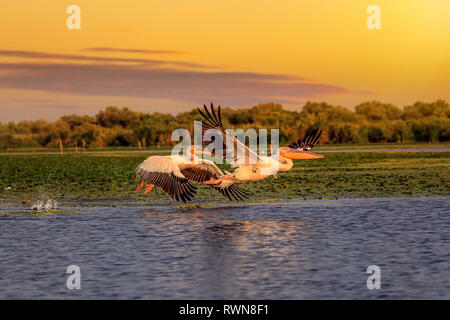 Pelicans at sunset taking off with a water splash in the Danube Delta - Stock Image