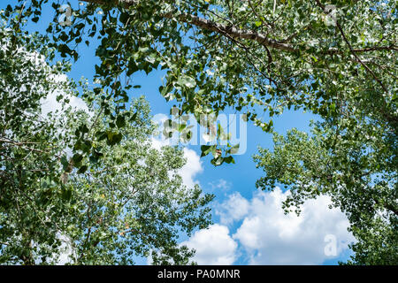 Looking up through branches and leaves of a Cottonwood tree in the summer. Populus deltoides, known as Eastern cottonwood. Kansas, USA. - Stock Image